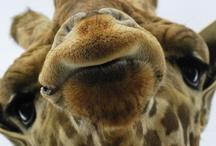 Giraffes / by Nanci Moes