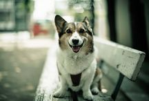 Corgi the dog