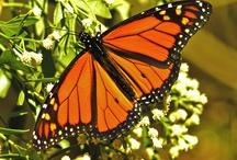 Butterfiy
