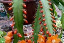 suculentas de folhas compridas e flores laranja maravilhosa