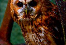 Corujas / Owl