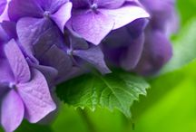 Hydrangea Fix / by Healthy Girl's Kitchen