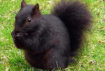 Nuts About Black Squirrels / Dedicated to the unofficial mascots of Kent State / by Kent State University College of Communication and Information