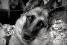 German Shepherd Dogs / by Tracey Meyer