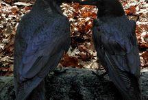 raven. crow