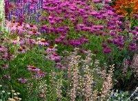 massif lavender dream