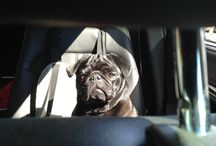 Pug Car Rides / Going fun places in cars