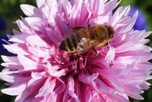 Beekeeping / http://www.wikifarmer.com/explore/apiculture/beekeeping-basics