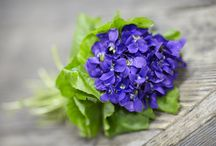 Ano Nuevo Flower Growers- Violets! / J Visits with Don Garibaldi at Ano Nuevo Flower Growers... America's last Violet Grower. The Garibaldi family has been growing violets for 4 generations... check out these endangered #americangrown flowers! / by J Schwanke