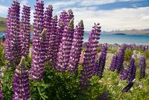 Colorful Flowering of Lupines at Lake Tekapo