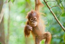 orangutàn
