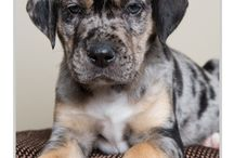 Catahoula Cuties
