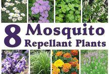 Växter mygg