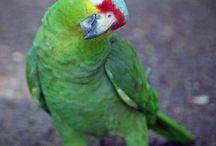 Παπαγάλοικινοα