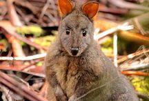 Tasmanian animals
