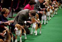 Beagles♡ / by Brittany Freeman
