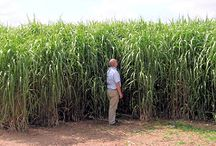 Miscanthus  / by Bioenergy Crops