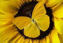 Sun & sun flowers