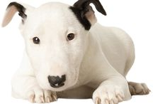 Le Bull Terrier / Photographies