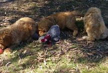 Banksia Park Puppies Groodles
