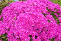 "G - Succulents - Lampranthus / Commonly called ""Veiggies"" in South Africa - now grown all over the world and give a spectacular show when grown in a mass - colors white, red, purple, yellow, orange and green."