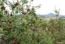 Notre verger - Our orchard - La Fruiteraie des Gadbois Rougemont / Une visite de notre verger au fil des saisons.  Vous pouvez venir y cueillir vos pommes en automne. www.lafruiteraie.com/verger