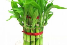 Lucky Bamboos / The luckiest & easiest plants to grow?