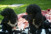 Harlekyn uszkár kutyák