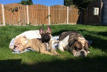 Ours Boys / We'd like to share photos of our babes. Meet Oli (Brindle British Bulldog) Charlie (White British Bulldog) and Oscer (Sable Fawn French Bulldog).