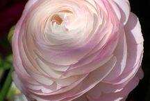 Flowers Ranunculus