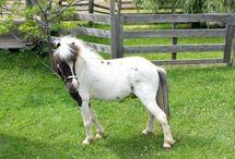 Le Falabella / Une partie des chevaux Andalous, amenés et abandonnés par les Espagnols au XVIème siècle sont retournés à l'état sauvage. Ces chevaux on commencé à réduire leur taille, pour s'adapter à leur environnement, comme beaucoup de race, tel que les Shetland.