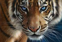 Тигры, леопарды и другие дикие кошки