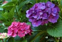 Hydrangeas_ogrodowa_macrophylla