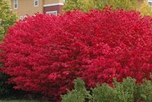 Red shrubs