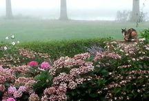 Hortensia snoei en bloei