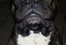 My baby boy / French Bulldog