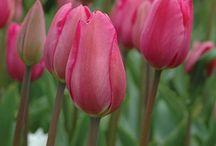 Burpee Tulips / flowers