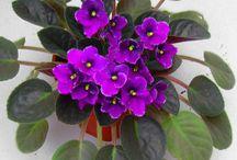 violete ..gloxinia...flori