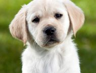 Guide Dogs
