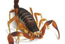 Skorpiók