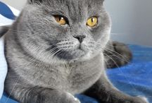 My cat:Yuri @yuri_britishshorthair_cat