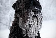 sort russisk terrier