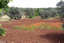 Pugliah.com Springtime Wildflowers / Springtime in Puglia - Wildflowers  (Ostuni / Puglia / Italy) www.pugliah.com