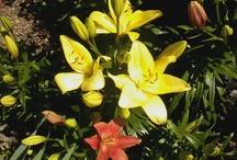 Garden Flowers / Asian Lillies, Hydrangea, Roses