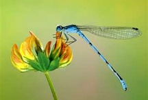 All things Dragonfly