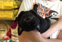 Pugs! :)