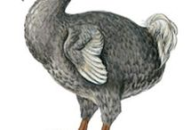 Columbiformes: pombos e jurití / Columbiform (order COLUMBIFORMES), any member of the group of birds that contains the pigeons, doves, dodoes, and solitaires. The order COLUMBIFORMES is divided into the RAPHIDAE, a family of extinct birds that embraces the DODO and the two species of SOLITAIRES, and the COLUMBIDAE, a family made up of extinct and living PIGEONS and DOVES.  PIGEONS and DOVES constitute the bird family COLUMBIDAE, which includes about 42 genera and 310 species.