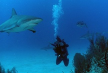 The Bahamas / The Bahamas are one of the Caribbean's most vibrant and exciting dive destinations, with a reputation for exceptional #shark encounters.