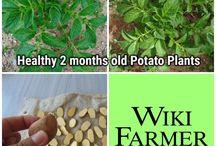 Growing Potatoes - Potato Farming