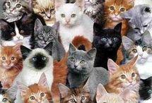 Kedi dili